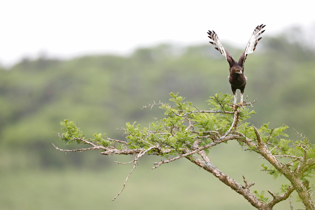 Long-crested Eagle / Balgowan, KwaZulu Natal, South Africa / November 2020