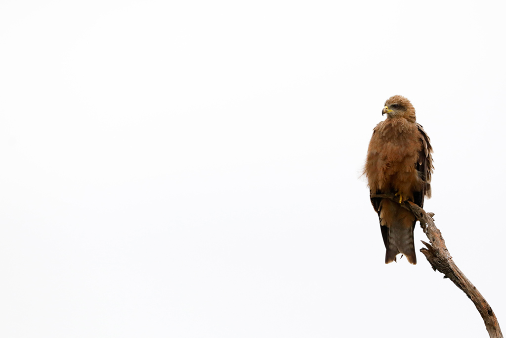 Yellow-billed Kite / Tala Game reserve, South Africa / November 2020