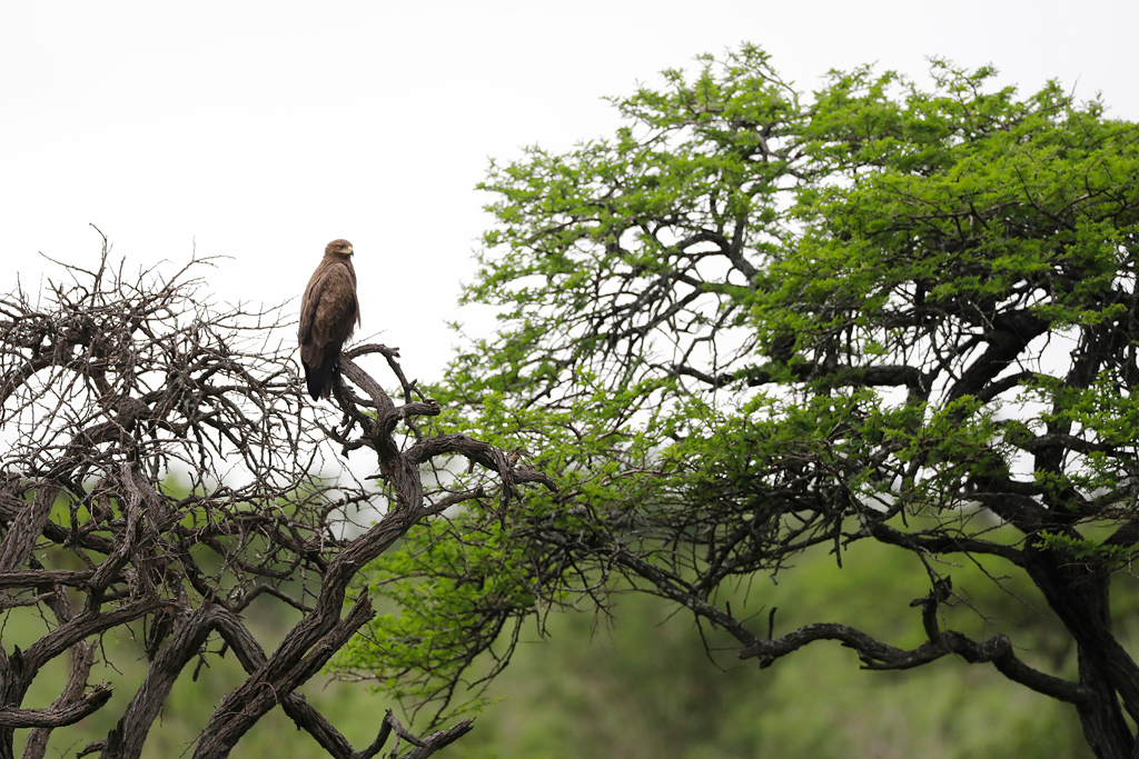 Wahlberg's Eagle / Tala Game Reserve, South Africa / November 2020