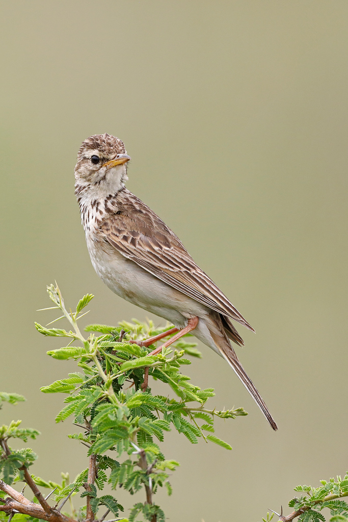African Pipit / Tala Game Reserve, South Africa / November 2020