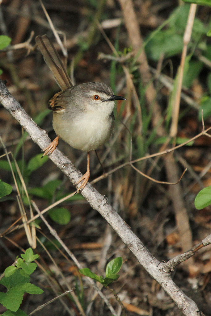 Tawnyflanked-Prinia—Zingela-Safari-&-River-Company-(near-Weenen),-KZN—29-November-2014-BEst-6-CR