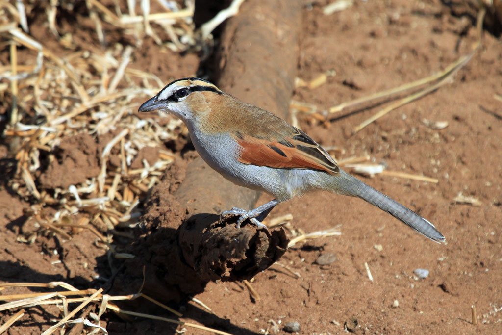 Black-crowned Tchagra / Pafuri-Wilderness Camp, Northern Kruger, South Africa
