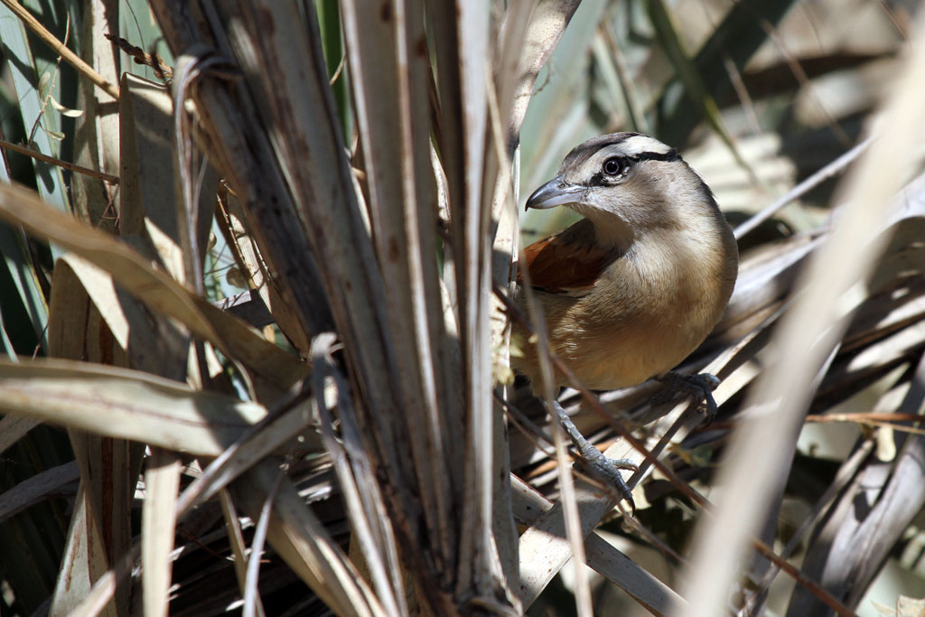 Brown-crowned Tchagra / Mahango Game Reserve, Northern Namibia