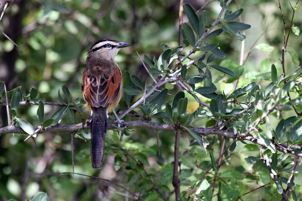 Brown-crowned Tchagra / Vredefort Dome, South Africa