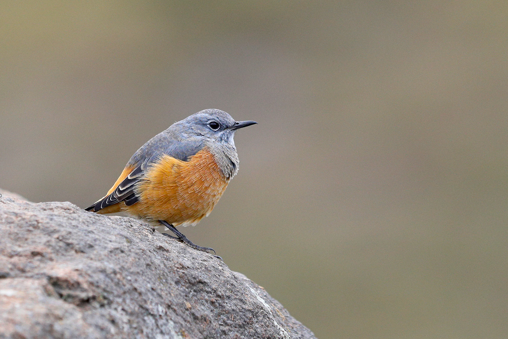 Sentinel Rock Thrush / Tenahead Mountain Lodge, Eastern Cape, South Africa / March 2018