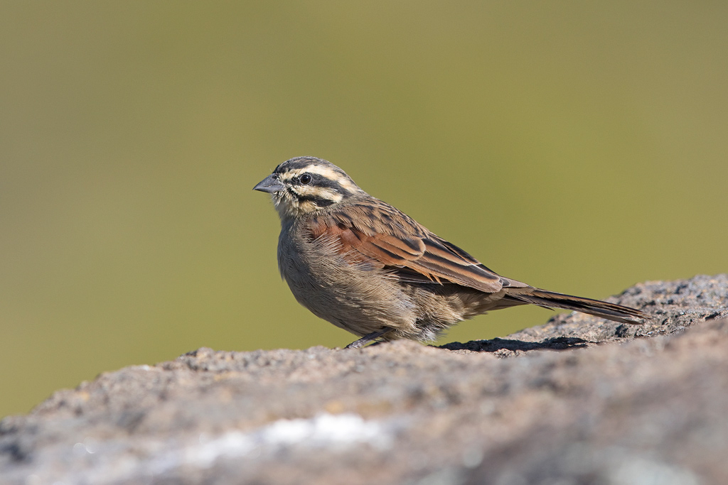 Cape Bunting / Tenahead Mountain Lodge, Eastern Cape, South Africa / March 2018