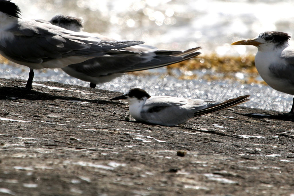 Common Tern with Swift Tern / Llandudno South Africa