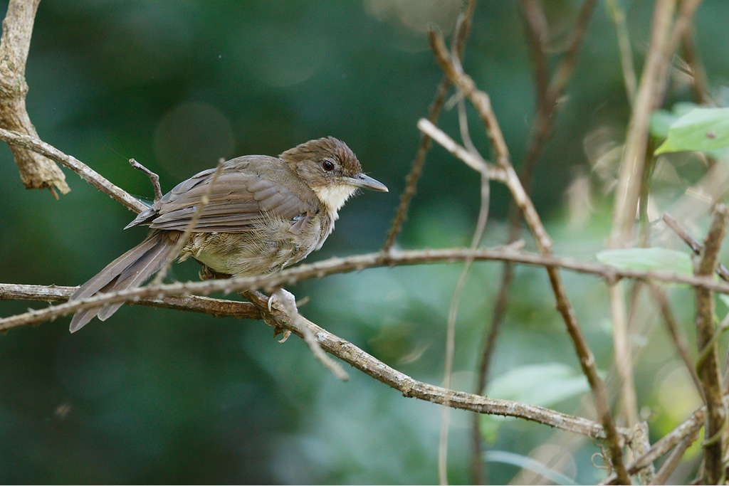 Terrestrial Brownbul / Umdoni Forest, KwaZulu Natal, South Africa / 11 April 2015