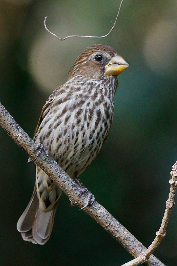 Thick-billed Weaver / Ocean View, South Coast KZN, South Africa / 16 August 2015