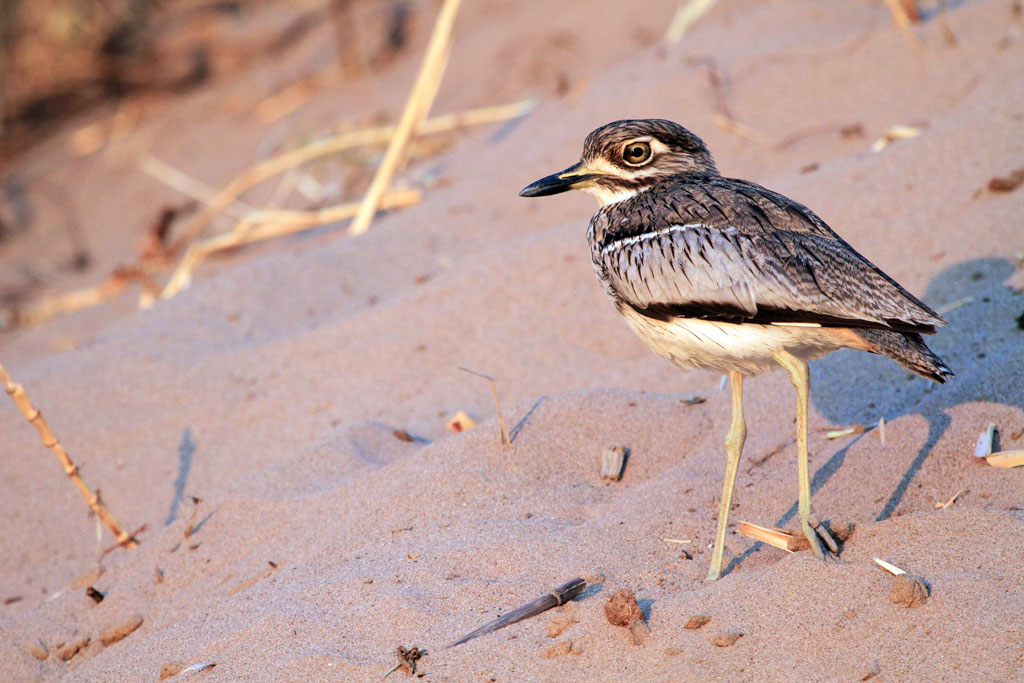 Water Thick-knee / Kunene River, Northern Namibia