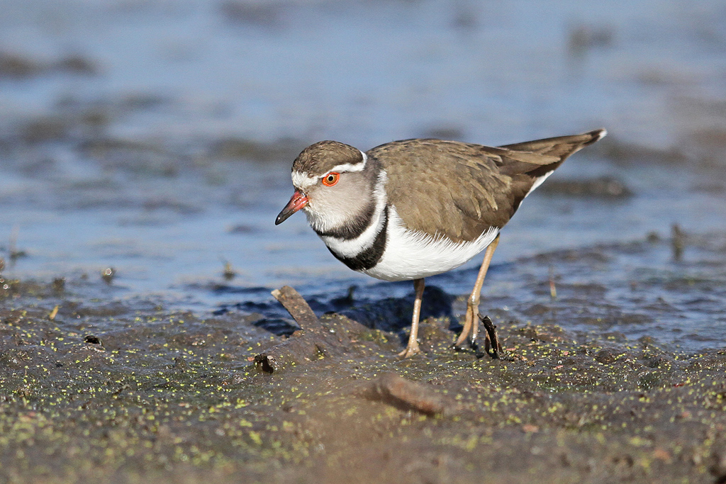 Three-banded-Plover_Marievale-Bird-Sanctuary,-South-Africa_13-July-2013-4