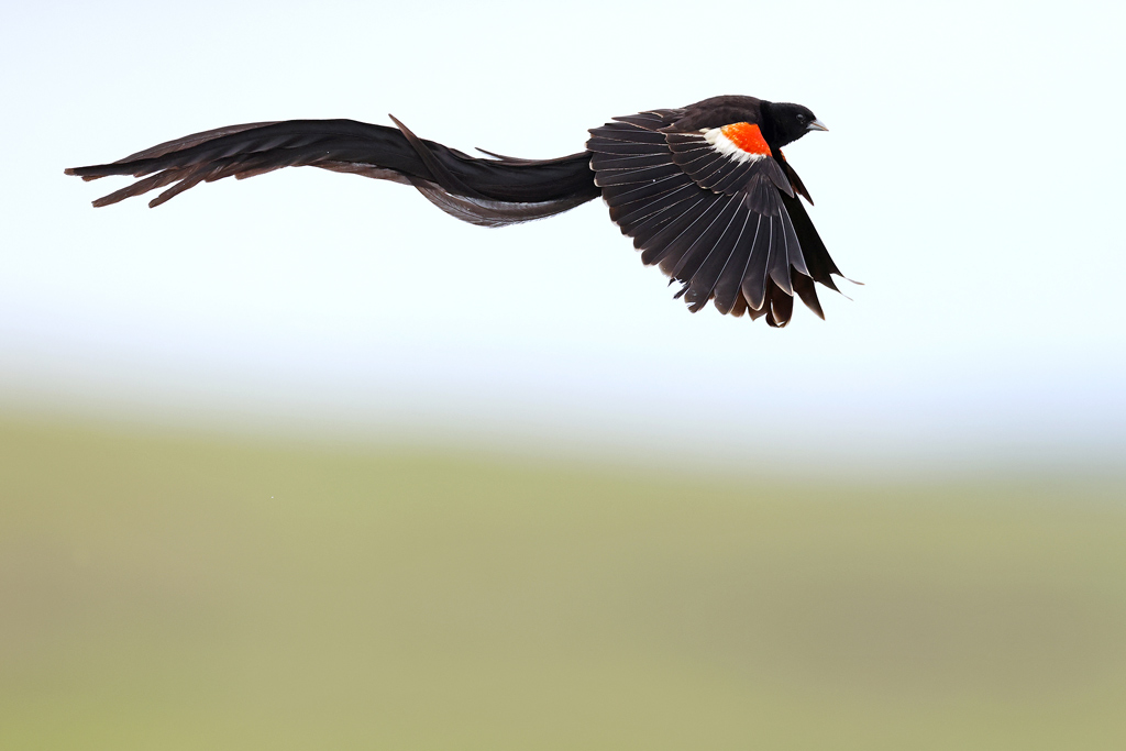 Long-tailed Widowbird / Thurlow Game reserve, KZN, South Africa / January 2021