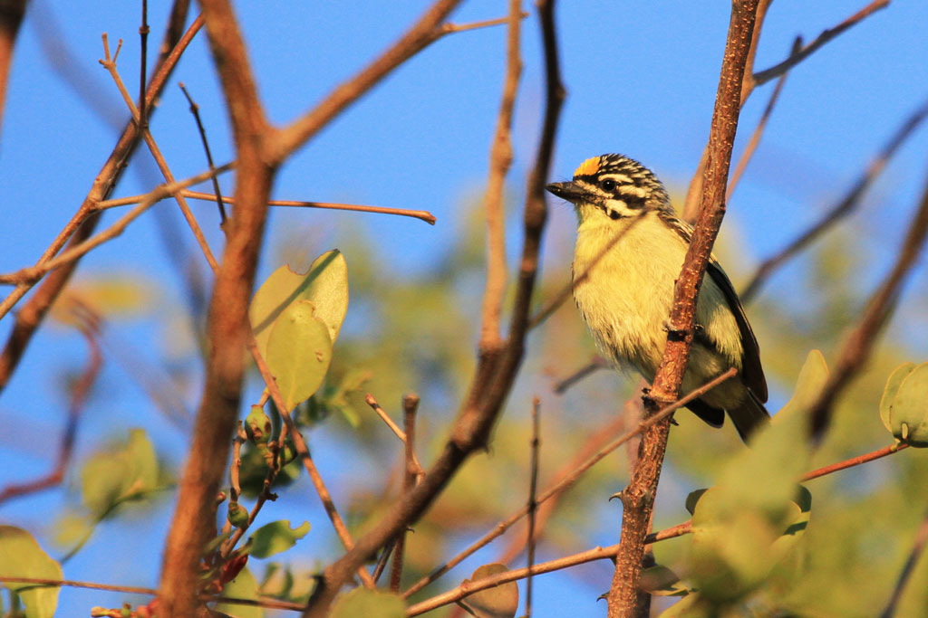 Yellow-fronted Tinkerbird / Shamvura, Northern Namibia