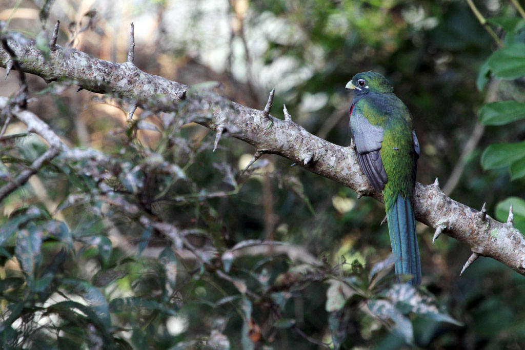 Narina Trogon – male / Umdoni Forest, South Africa