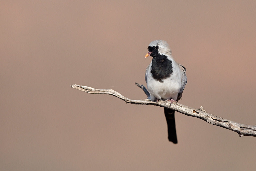 Namaqua Dove (male) / Tswalu Kalahari Reserve, South Africa / July 2018