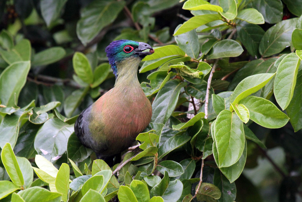 Purple-crested Turaco – male / Tembe Elephant Park, South Africa / 14 April 2011
