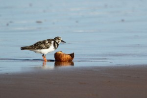 Turnstones Bird Photography