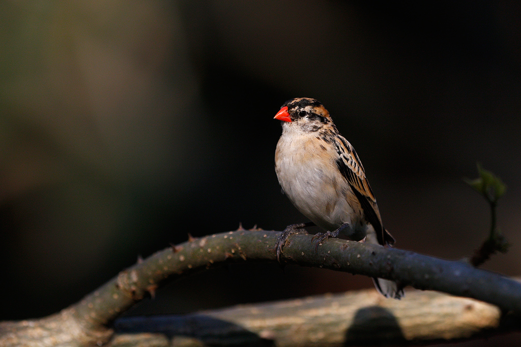 Pin-tailed Whydah / Umngazi River Bungalows, Eastern Cape, South Africa
