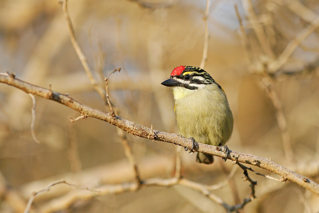 Red-fronted Tinkerbird / Umngazi River Bungalows, Eastern Cape, South Africa / 29 August 2016