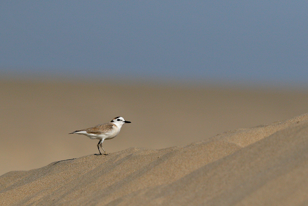 White-fronted Plover / Umngazi River Bungalows, Eastern Cape, South Africa