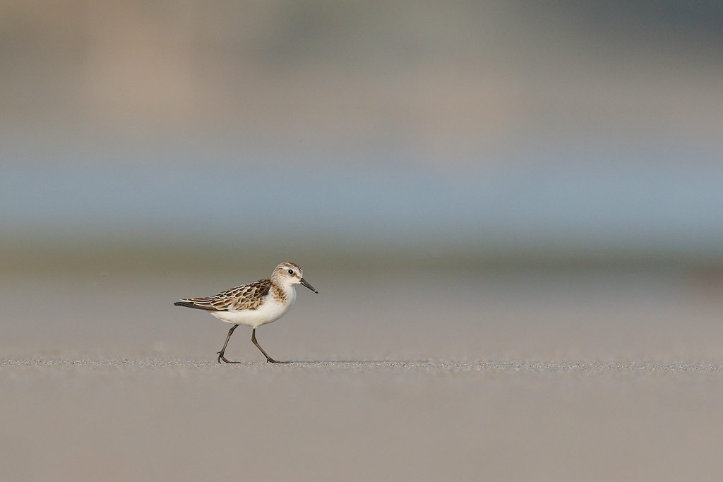Little Stint / Umngazi River Bungalows, Eastern Cape, South Africa / August 2016