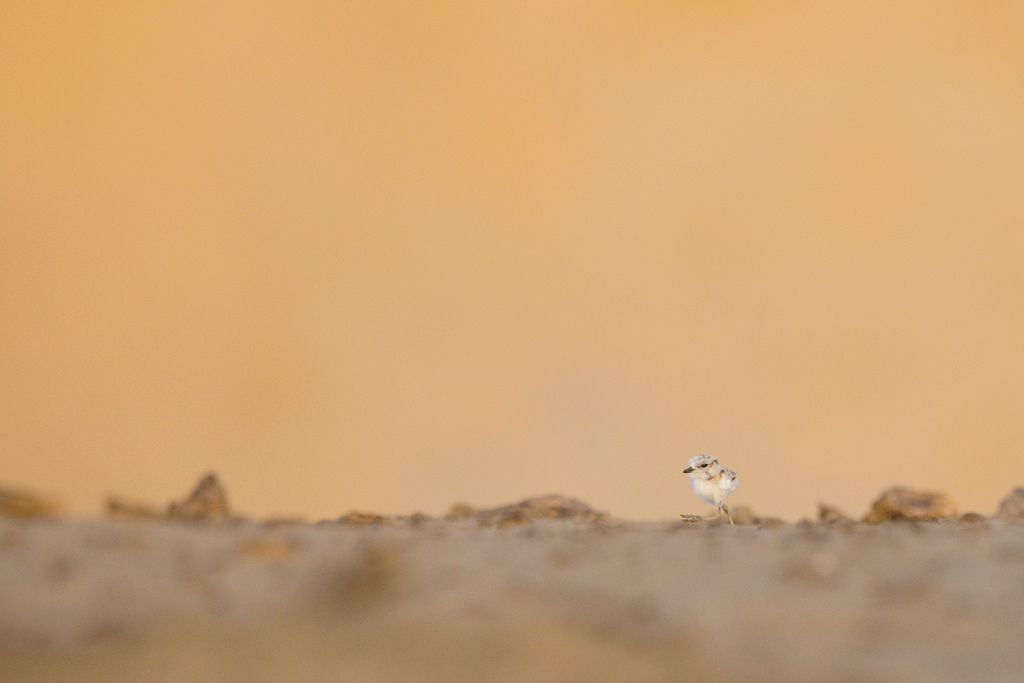 White-fronted Plover / Umngazi River Bungalows. Eastern Cape, South Africa / March 2018