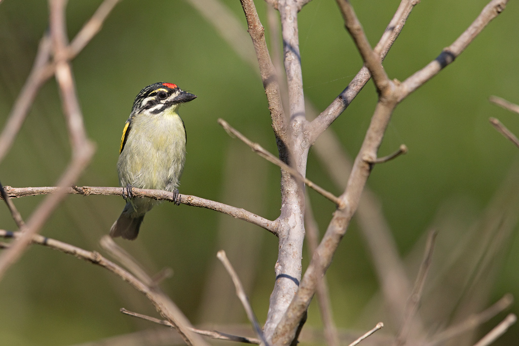 Red-fronted Tinkerbird / Umngazi River Bungalows, Eastern Cape, South Africa / March 2018