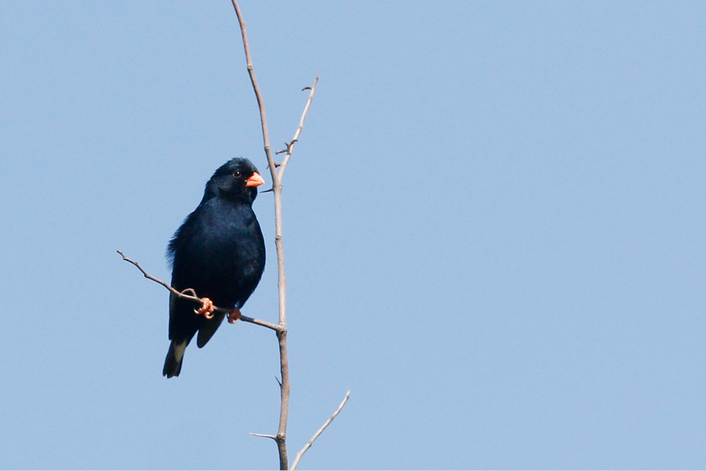 Village Indigobird / Zaagkuildrift to Kgomo Kgomo, South Africa / 17 January 2015