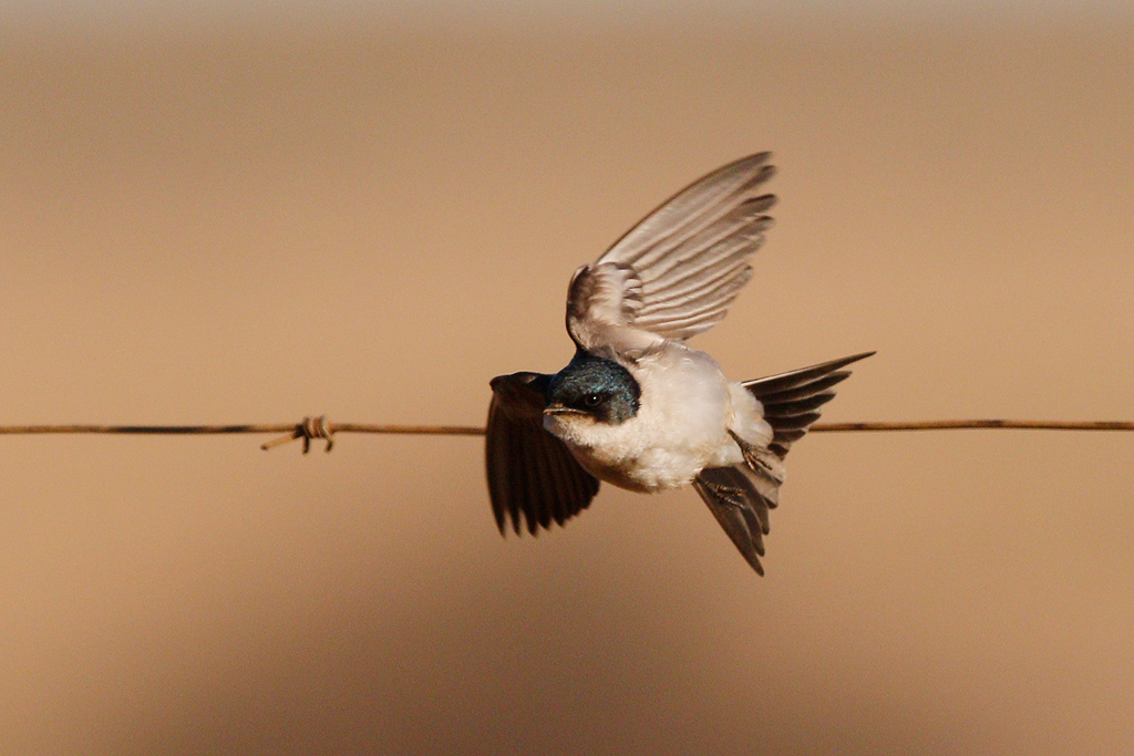 Pearl-breasted Swallow / Vlaklaagte Roadside Routes, South Africa / 13 August 2016