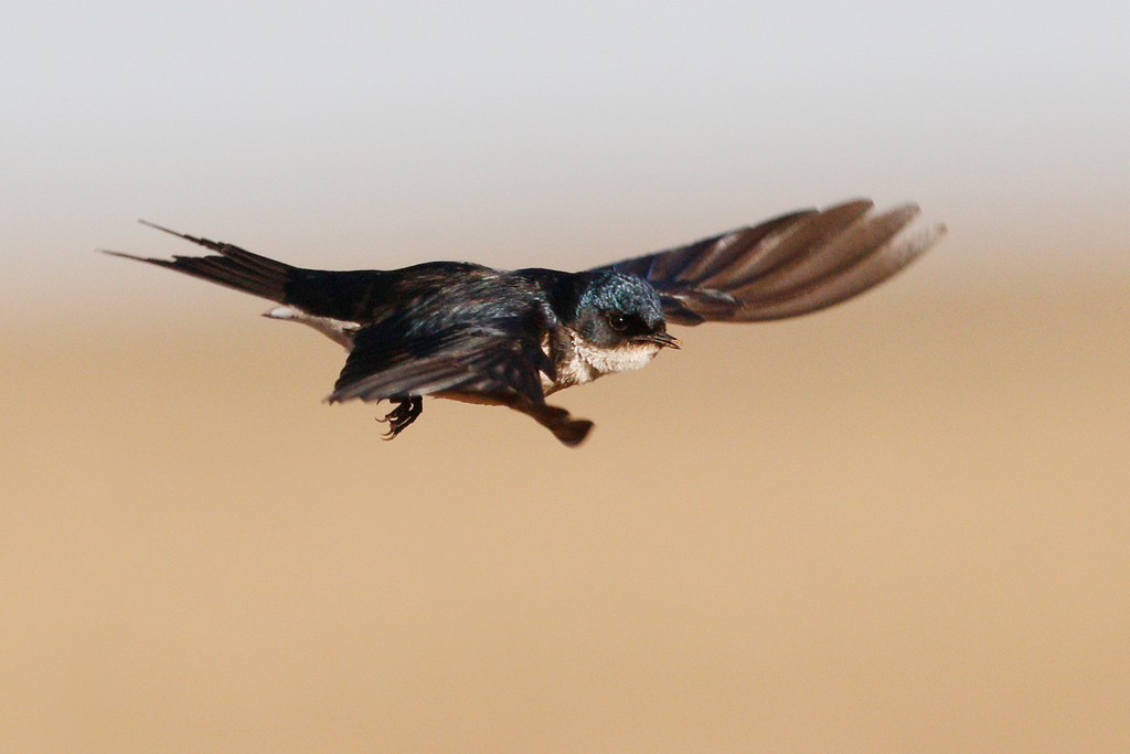 Pearl-breasted Swallow / Vlaklaagte Roadside Routes, South Africa / 13 August 2016 (Edited – removed swallow bottom left)