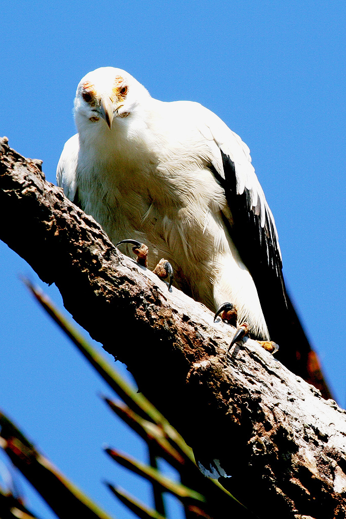 Palm-nut Vulture / Kosi Bay, South Africa
