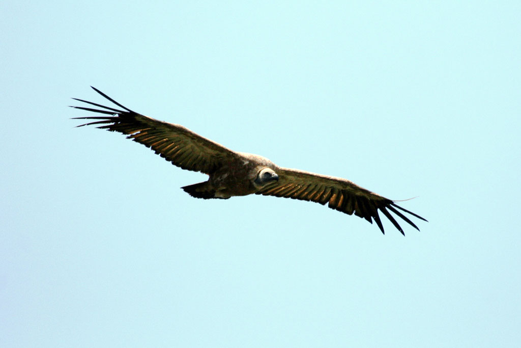 Cape Vulture / Magaliesberg, South Africa