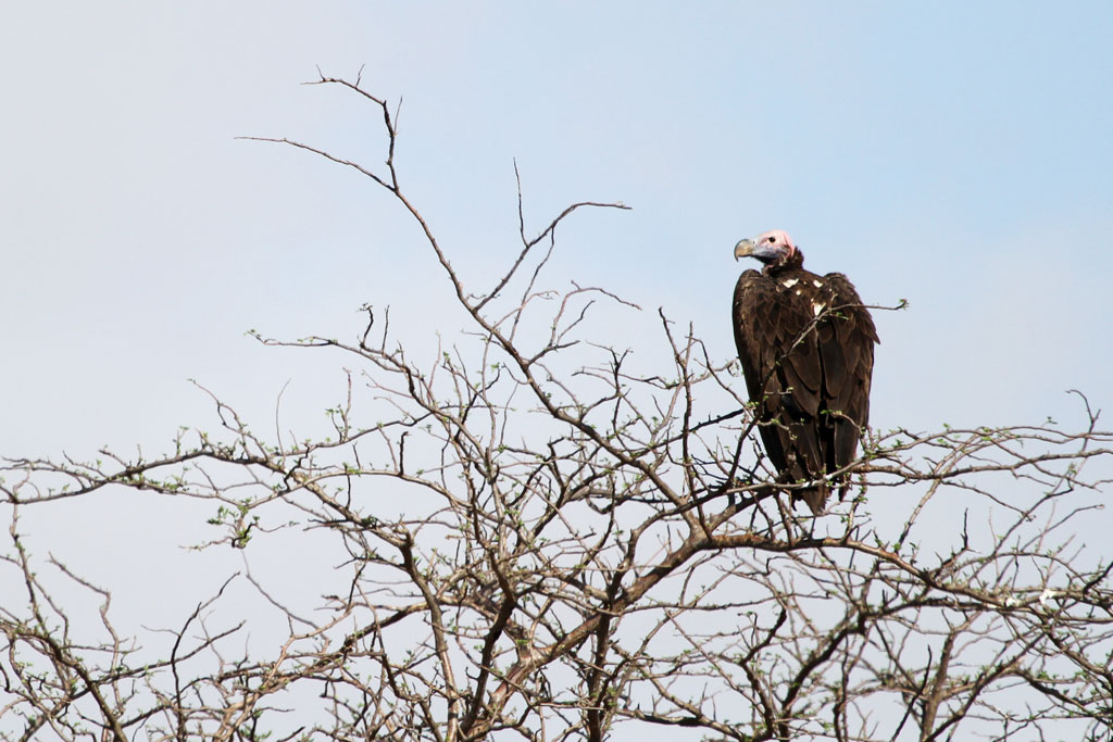 Lappet-faced Vulture / Tsavo West National Park, Kenya