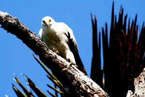 Special Birds / Palmnut Vulture / Kosi Bay, South Africa