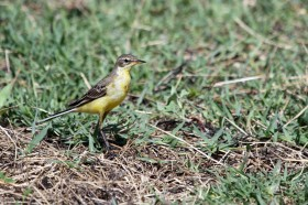 Yellow Wagtail (Flava) / Mkhombo Dam, Nature Reserve, South Africa / 15 December 2011