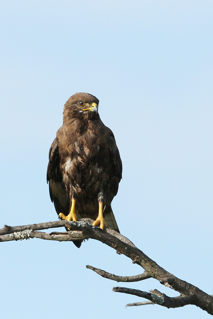 Steppe Buzzard / Zaagkuildrift, South Africa / 08 February 2014