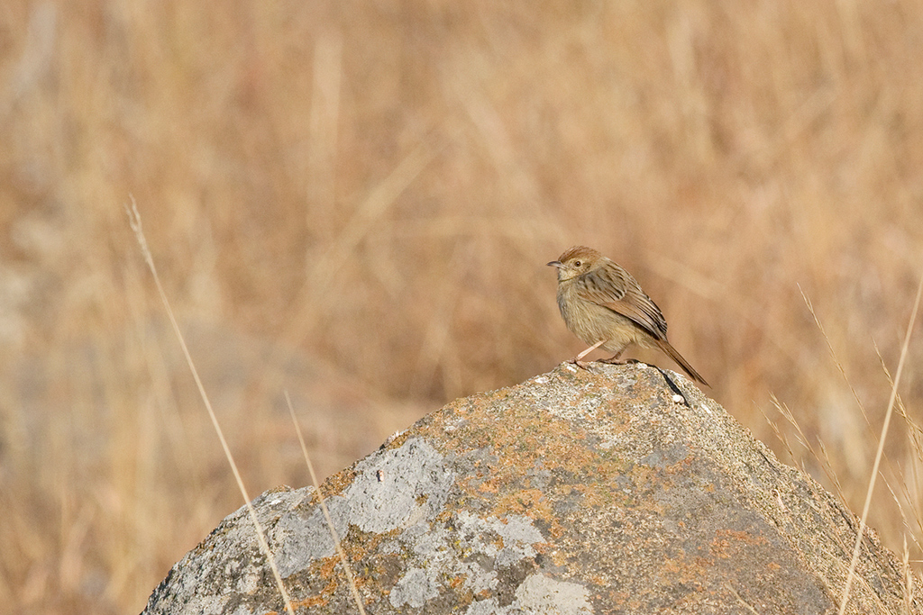 Wailing Cisticola / Walkersons Hotel & Spa, Dullstroom, South Africa / June 2015