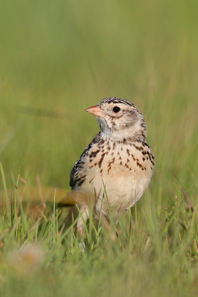 Botha's Lark / Daggakraal, Mpumalanga, South Africa / 06 January 2018