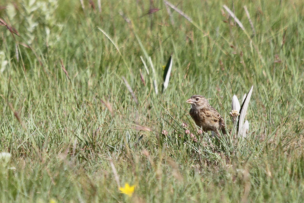 Botha's Lark / Wakkerstroom, Mpumulanga, South Africa / 26 November 2011
