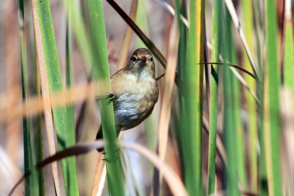 African Reed Warbler / Marievale Bird Sanctuary, South Africa / 11 May 2012