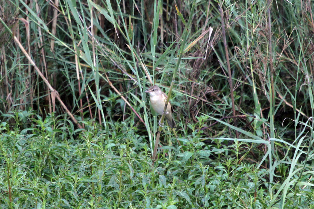 Great Reed Warbler / Kgomo Kgomo, South Africa / 25 March 2011