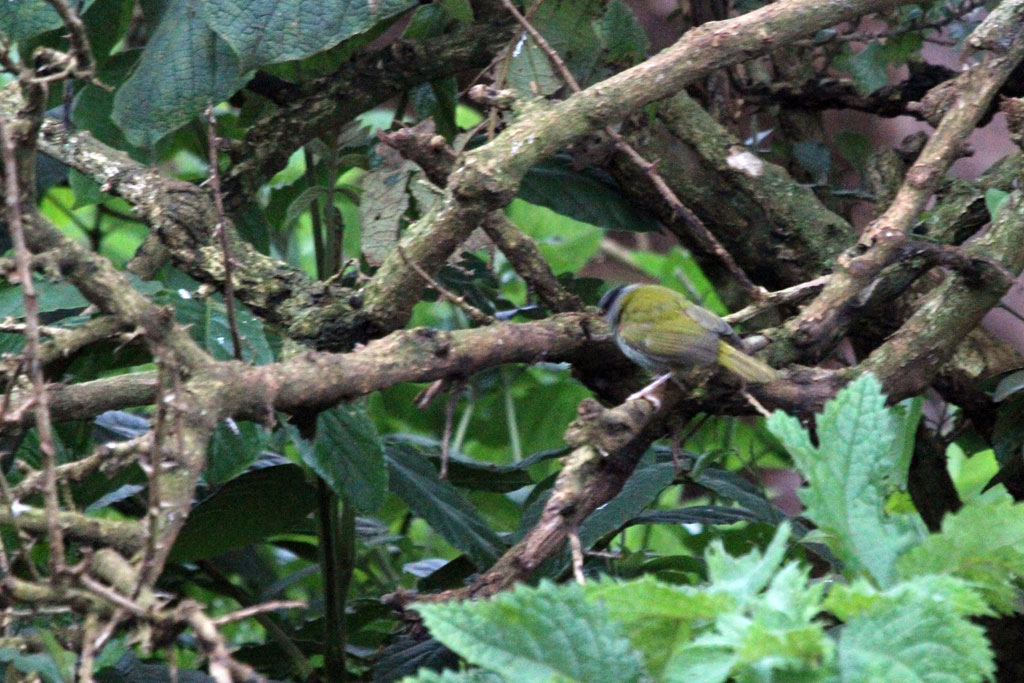 Grey-capped Warbler / The Ark, Aberdares National Park, Kenya / 12 September 2011