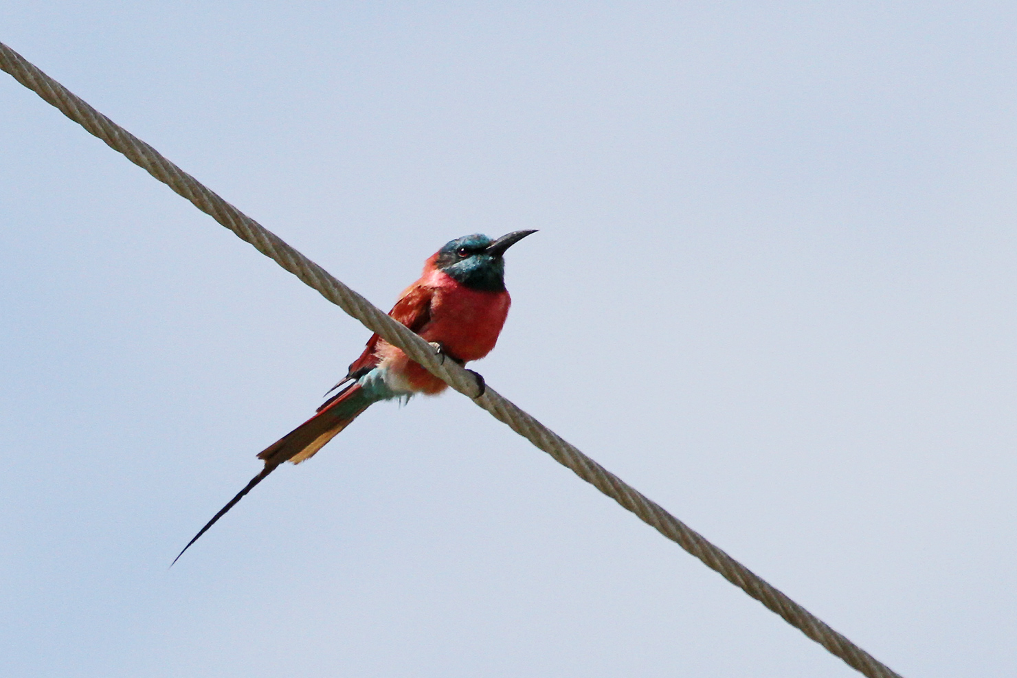 Northern Carmine Bee-eater / Watamu, Kenya / 21 September 2011