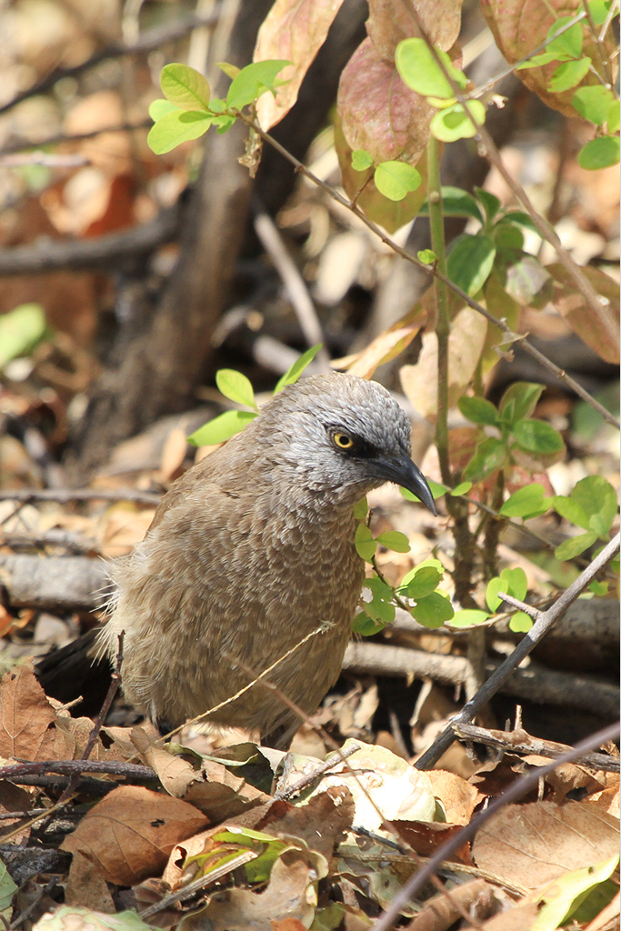 Black-faced Babbler – juvenile / Kunene River Lodge, Northern Namibia / 23 July 2013