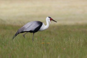 Wattled Crane / Ntsikeni Nature Reserve, KZN, South Africa / 15 December 2015