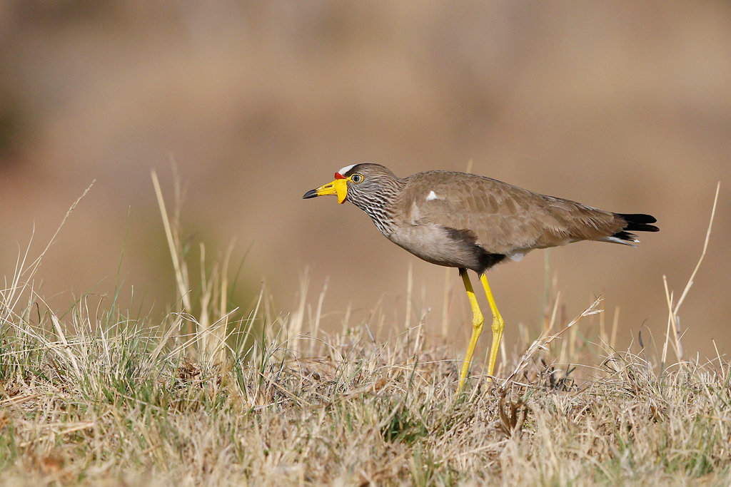 African Wattled Lapwing / Kololo Game Reserve, Vaalwater, South Africa / 25 September 2015
