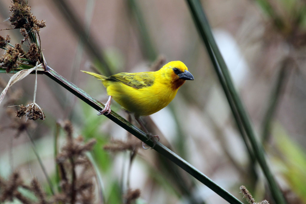 Southern Brown-throated Weaver (Marleyi) / Sappi Bird Hide, Stanger, KZN, South Africa