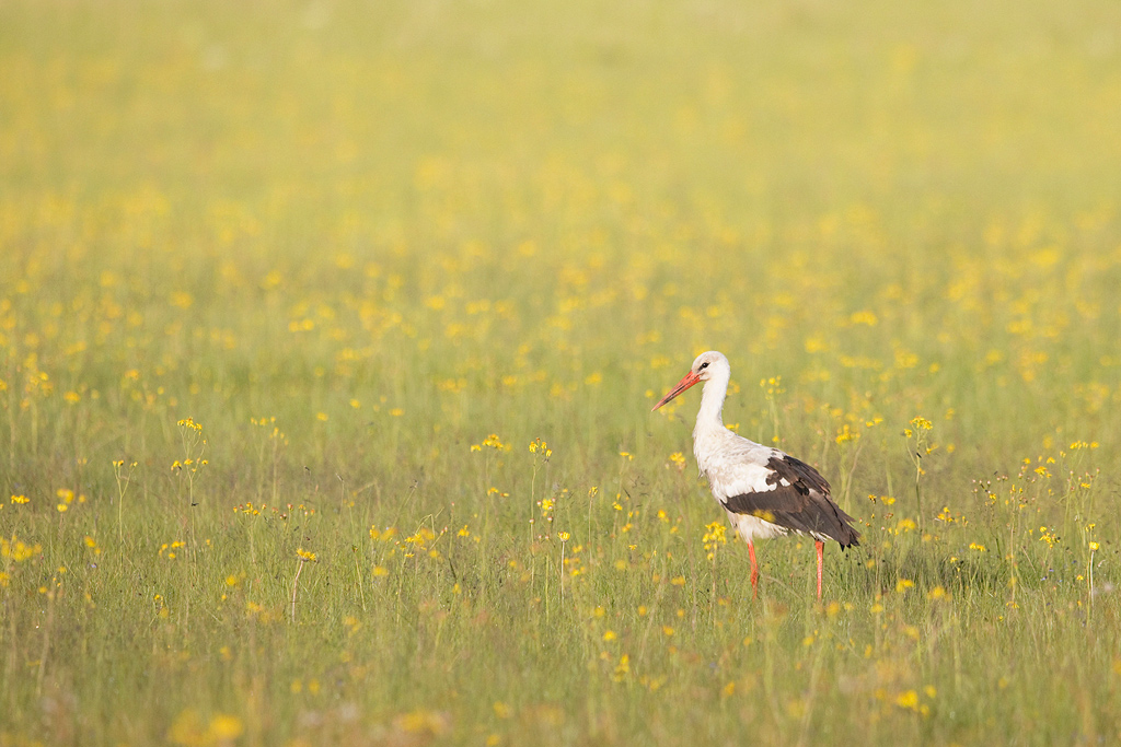 White Stork / Wakkerstroom, Mpumalanga, South Africa / December 2017
