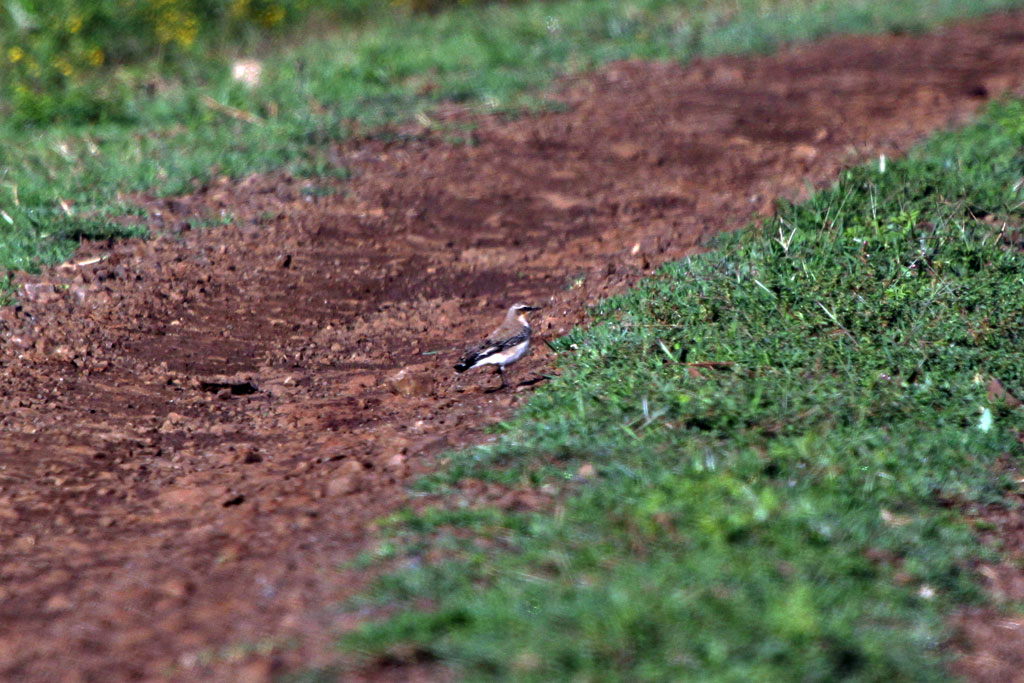 Northern Wheatear / Aberdares National Park, Kenya / 12 September 2011