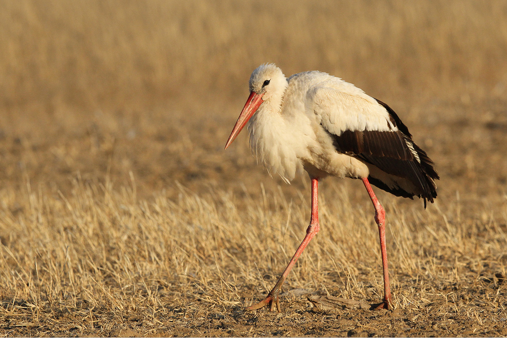 White-Stork-5-CR-SM-SH-WEB